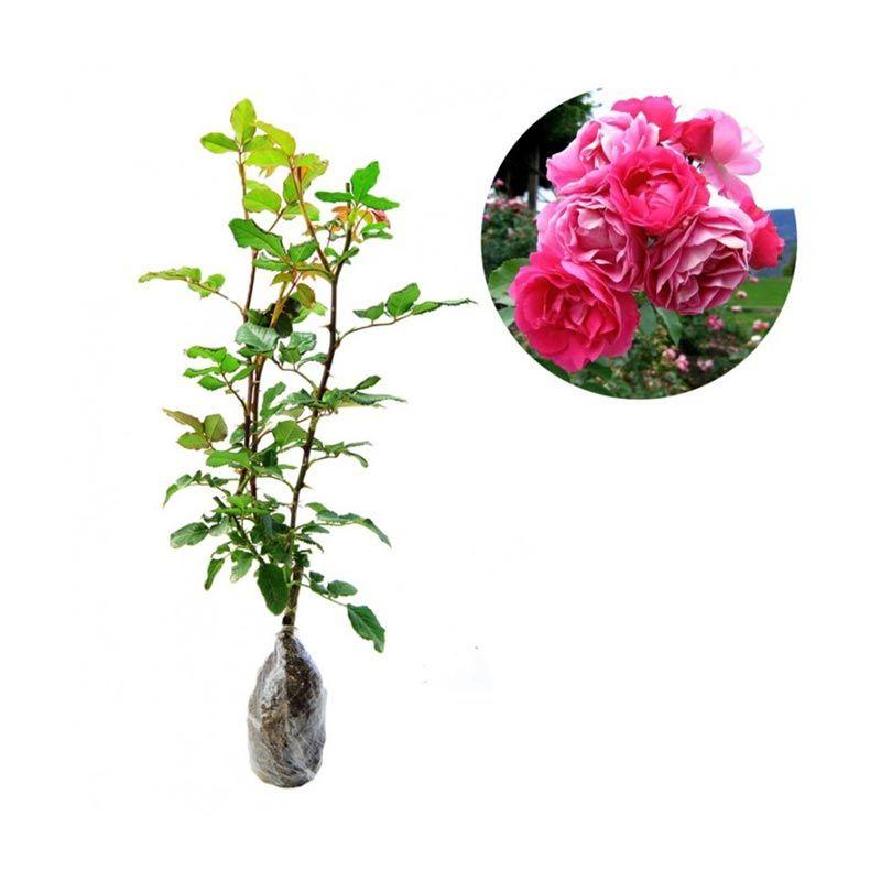 Kebun Bibit Mawar Floribunda Pink Tanaman