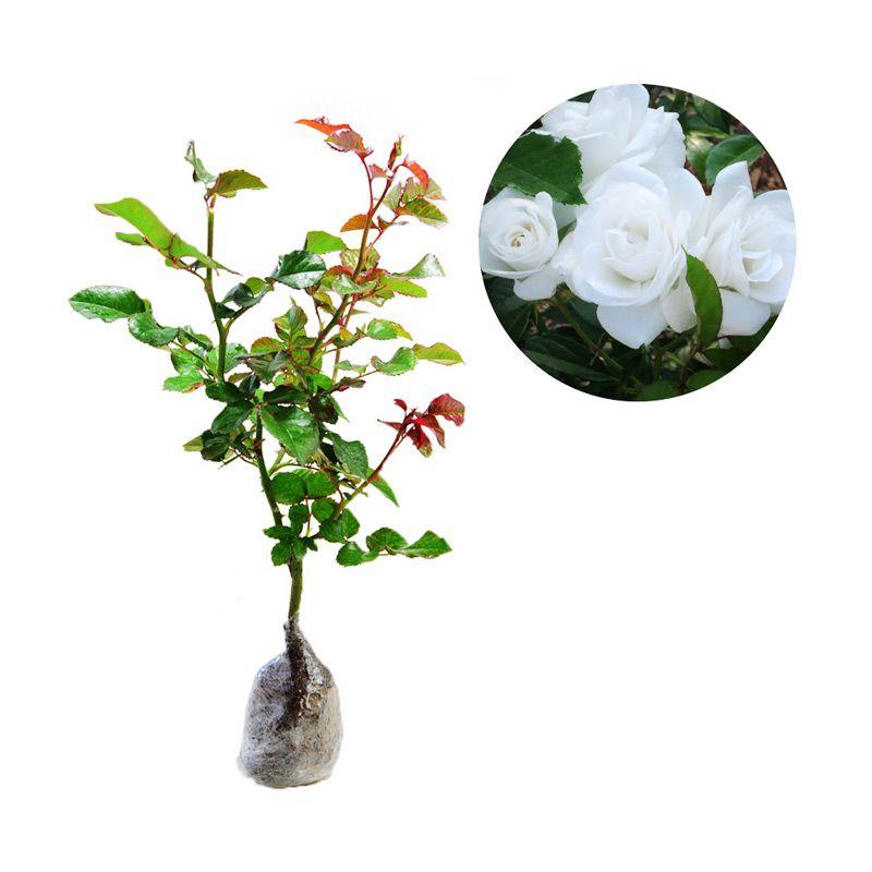 Kebun Bibit Mawar Floribunda Putih Tanaman