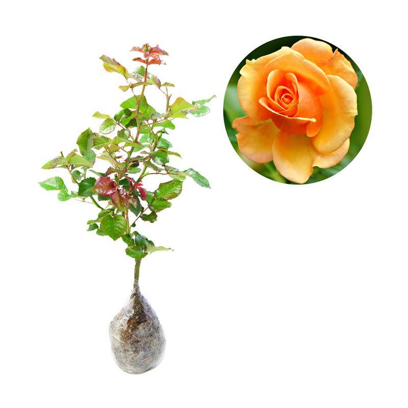 Kebun Bibit Mawar Orange Tanaman