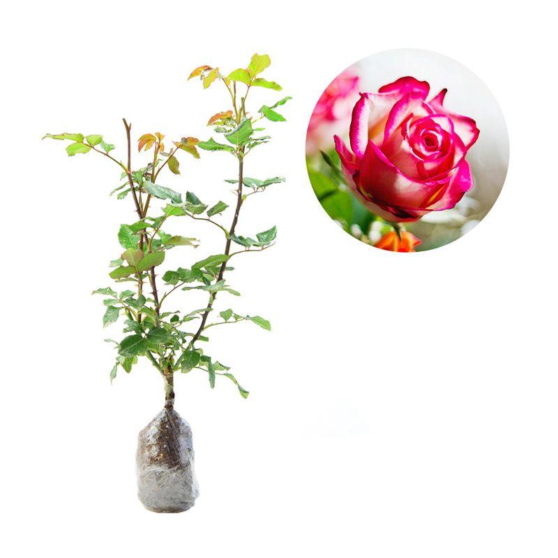 Kebun Bibit Mawar Pink Tipped Tanaman