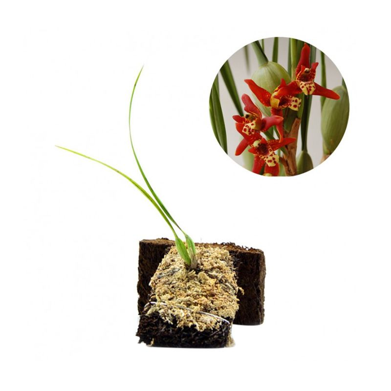 Kebun Bibit Maxillaria Tenuifolia Tanaman