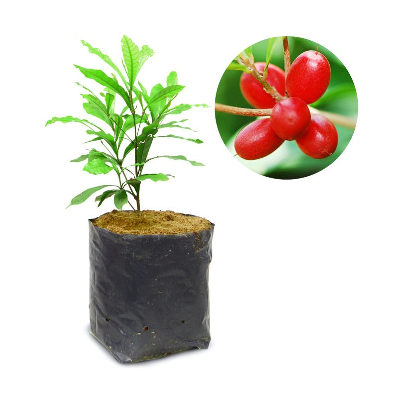 Kebun Bibit Miracle Fruit Bibit Tanaman [30 cm]
