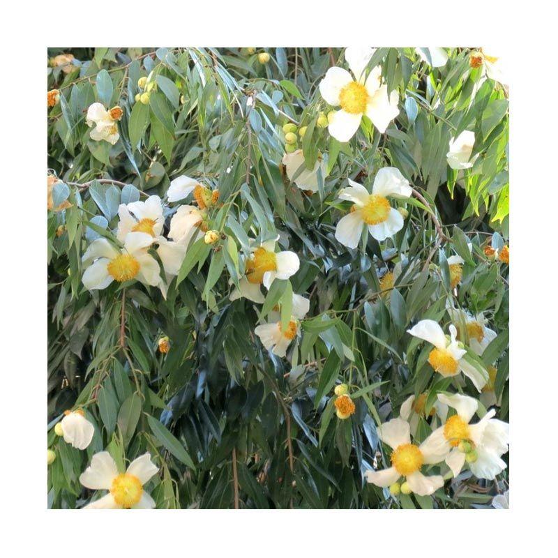 Kebunbibit Tanaman Hias Bunga Nagasari