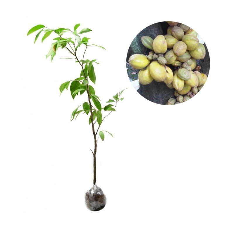 Kebun Bibit Nam-Nam Tanaman [60 cm]