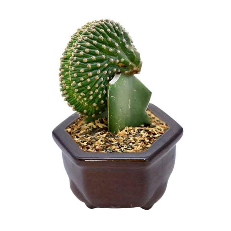 harga Kebun Bibit Pangolin Cactus Tanaman Blibli.com