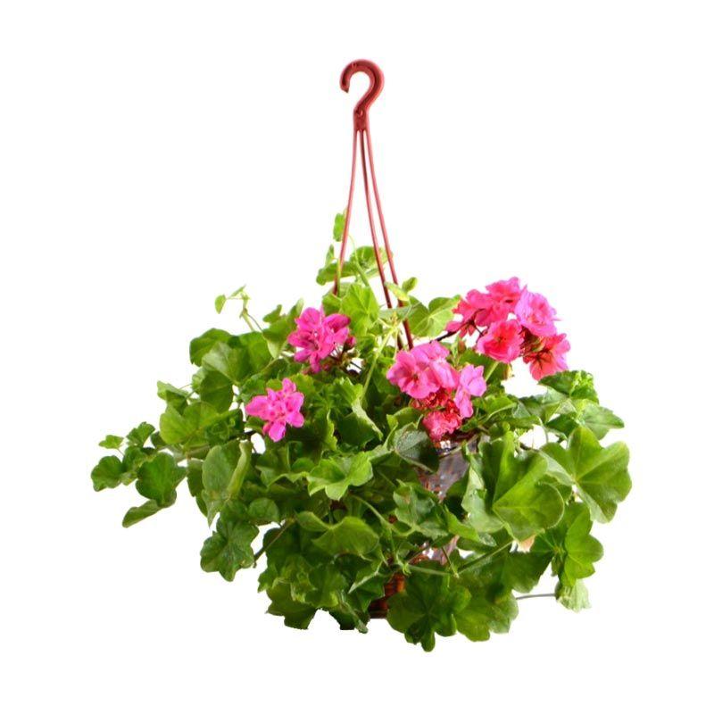 Kebun Bibit Pelargonium Pink Tanaman