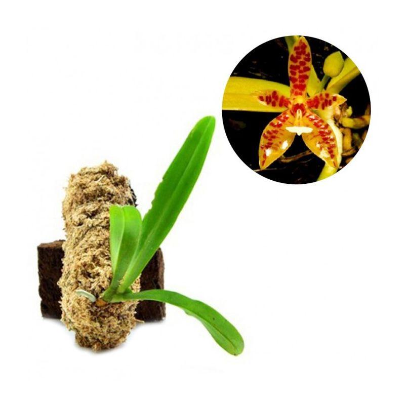 Kebun Bibit Phalaenopsis Cornu Cervi Kuning Tanaman