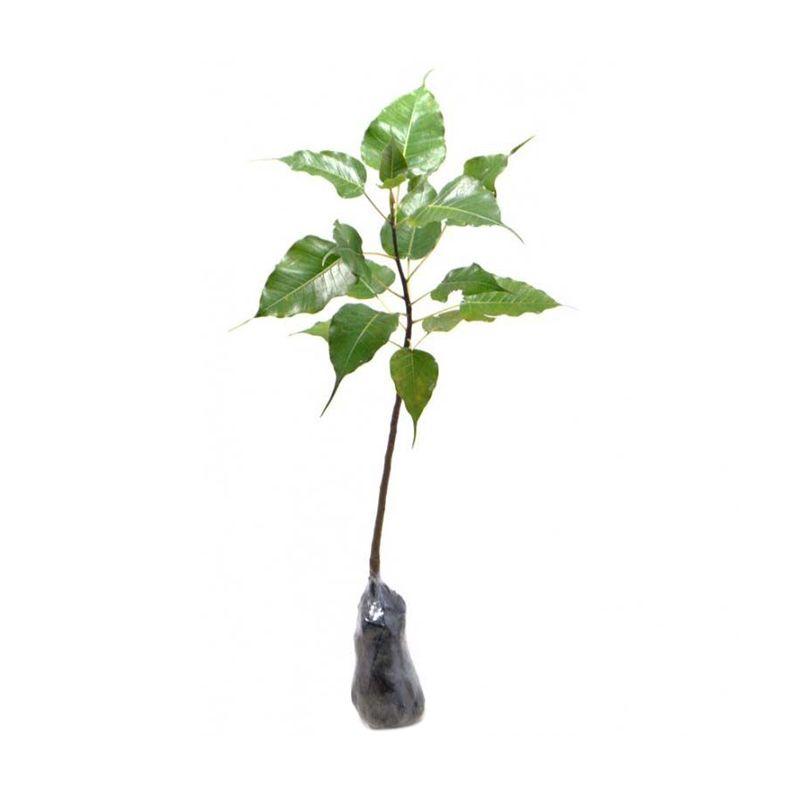 Kebun Bibit Pohon Bodhi Tanaman