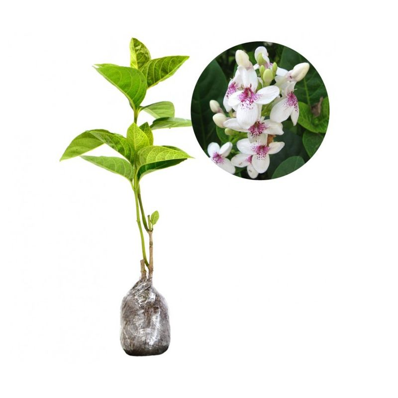 Kebun Bibit Pseuderanthemum Reticulatum Tanaman