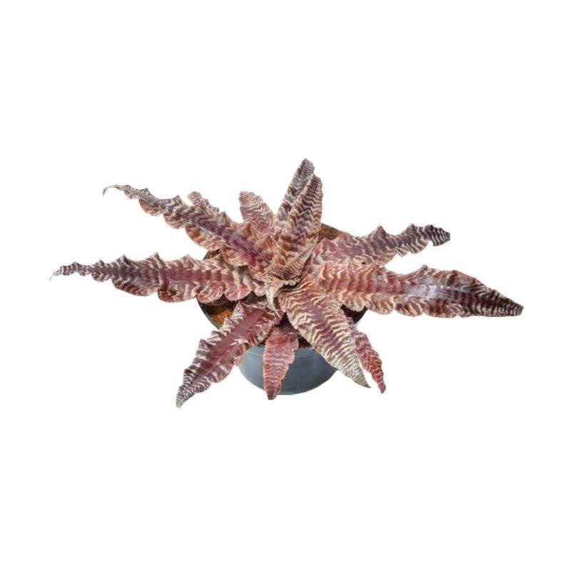 Kebun Bibit Red Tiger Cryptanthus Hijau Tanaman