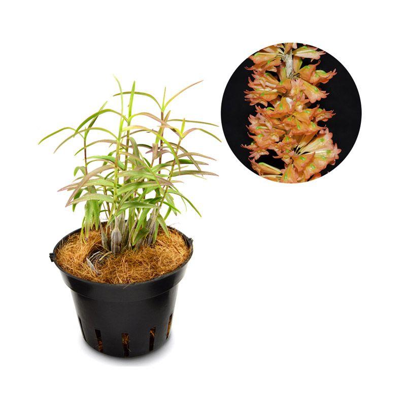 Kebun Bibit Seedling Dendrobium Faciferum Tanaman