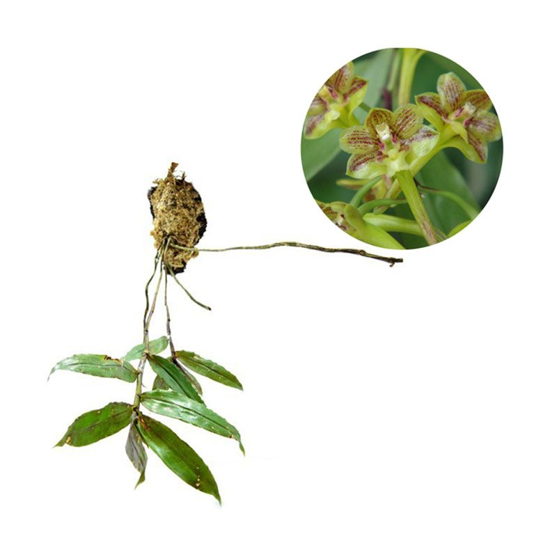 Kebun Bibit Seedling Dendrobium Hymenophyllum Tanaman