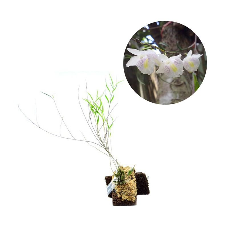 Kebun Bibit Seedling Dendrobium Linearifolium Tanaman