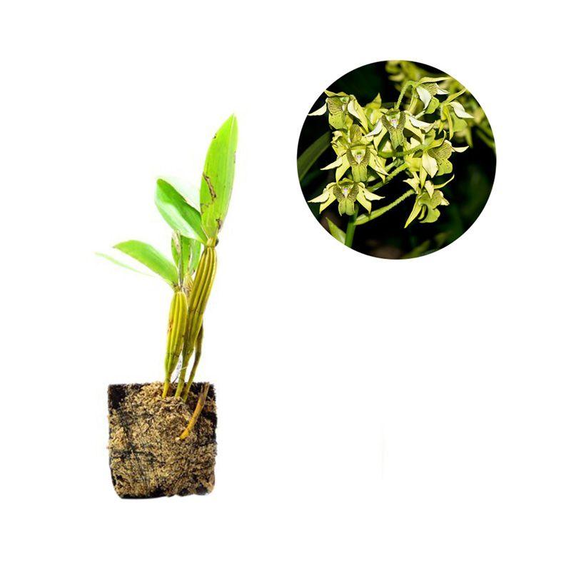 Kebun Bibit Seedling Dendrobium Macrophyllum Tanaman