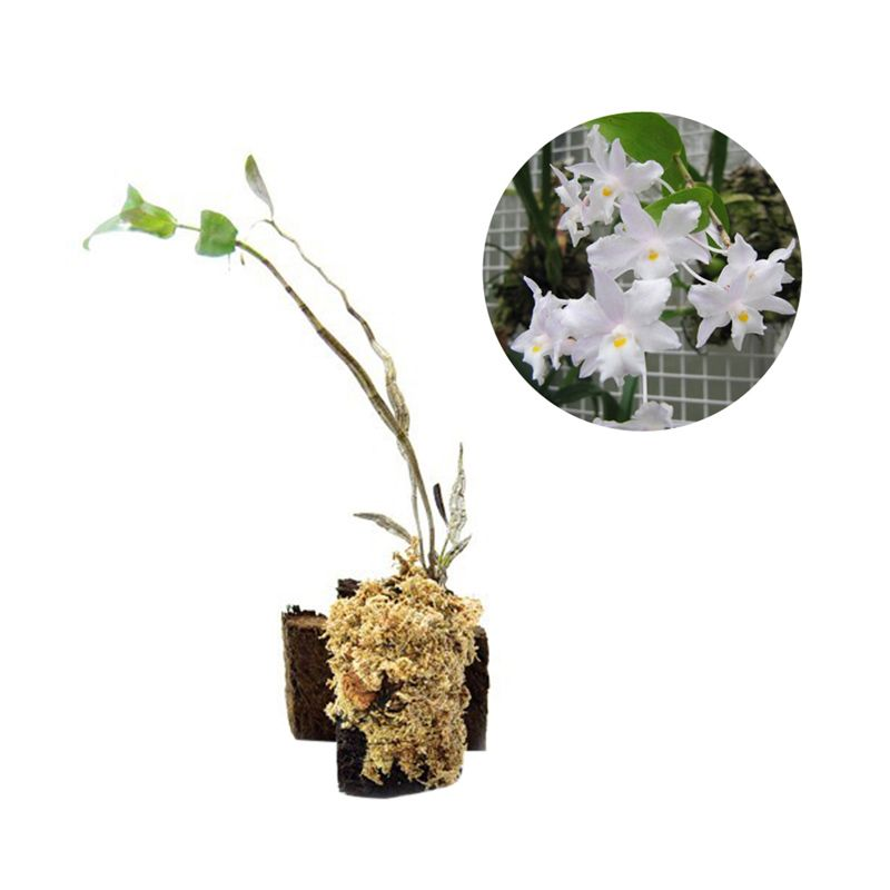 Kebun Bibit Seedling Dendrobium Mutabile Tanaman