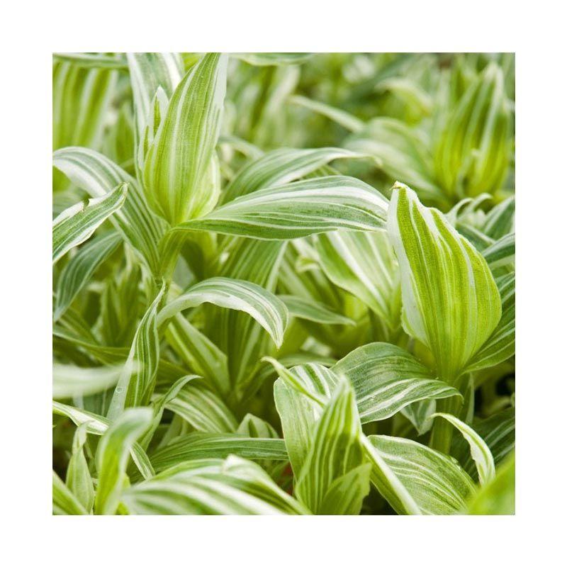 Kebun Bibit Silver Stripe Hijau muda Tanaman