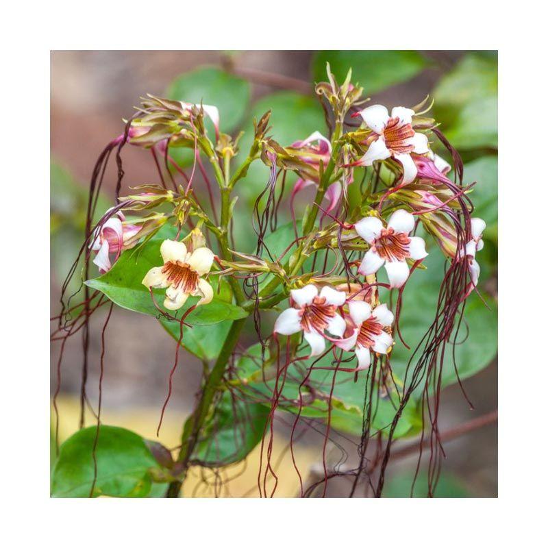 Kebun Bibit Strophanthus Gratus Putih Tanaman