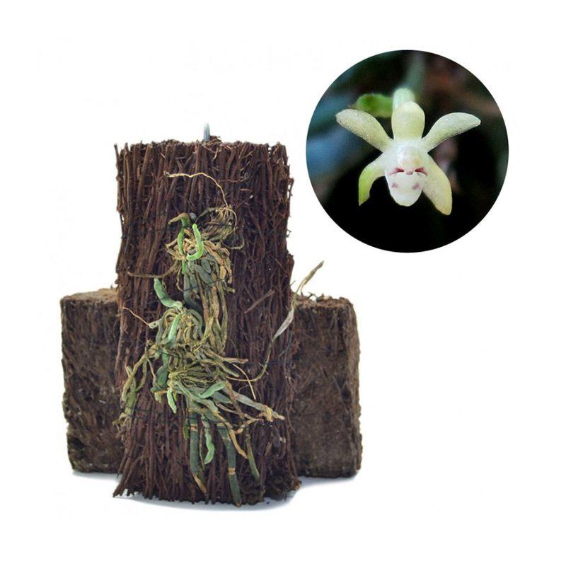 Kebun Bibit Taeniophyllum Sp Borneo Putih Kekuningan Tanaman