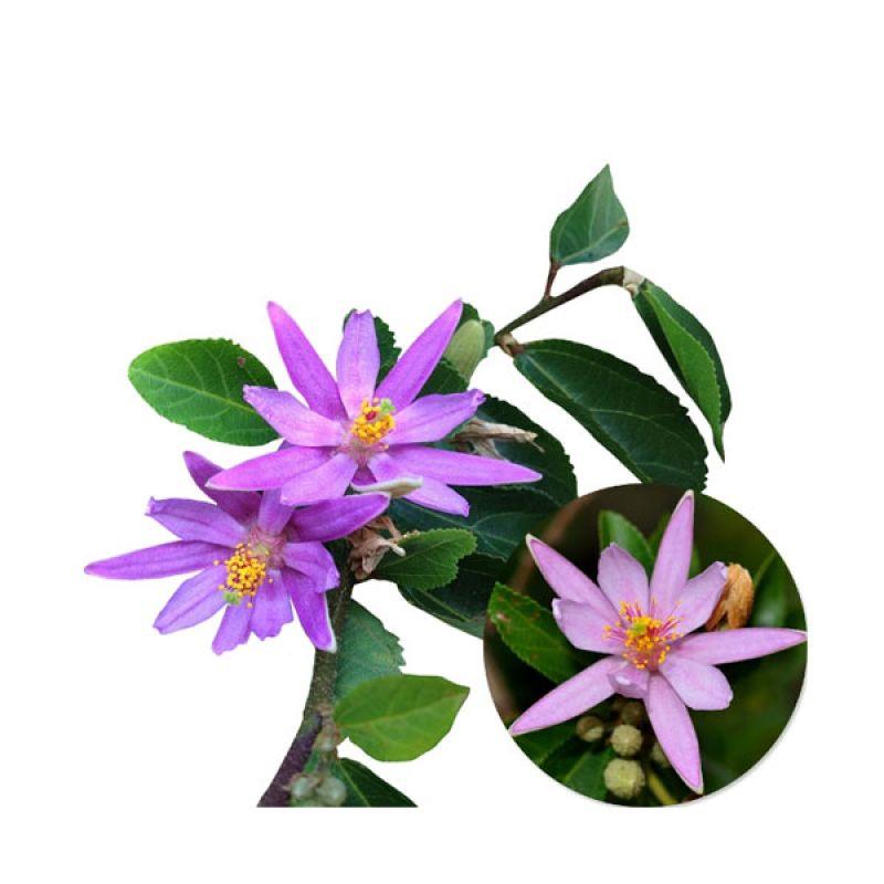 Kebun Bibit Tanaman Bunga Hias Crossberry