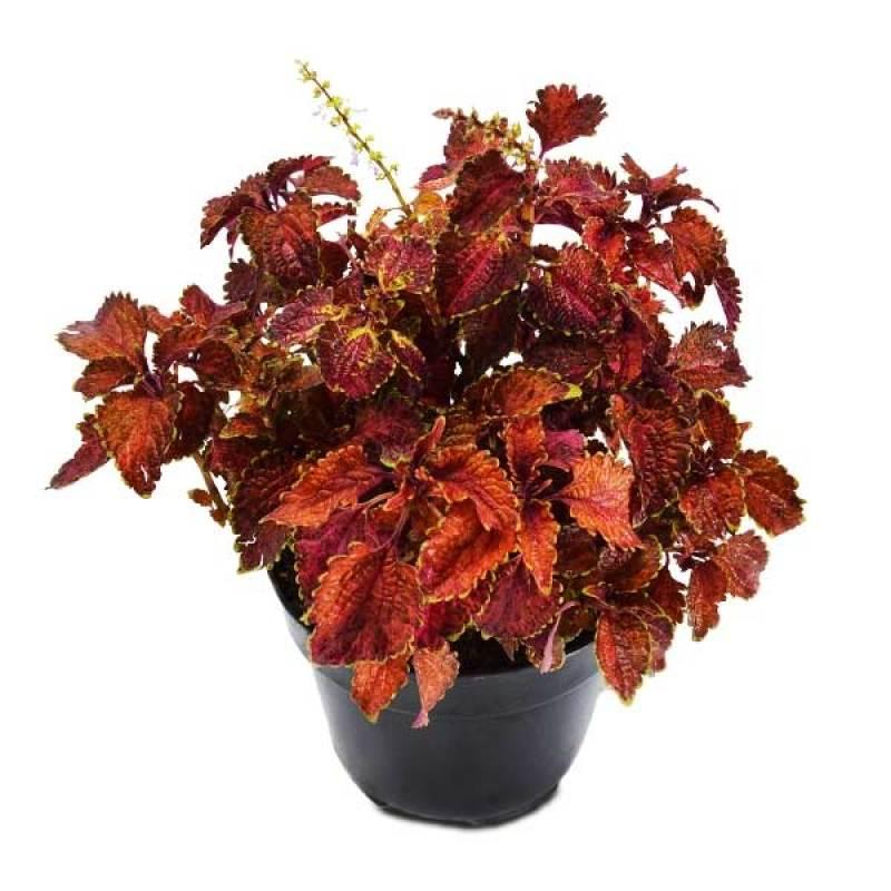 Kebun Bibit Tanaman Bunga Red Coleus