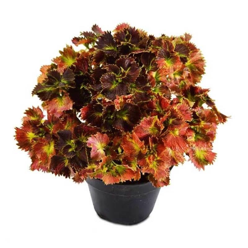 Kebun Bibit Tanaman Coleus Red Savier