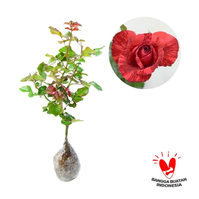 Jual Mawar Candy Merah Online Oktober 2020 Blibli Com