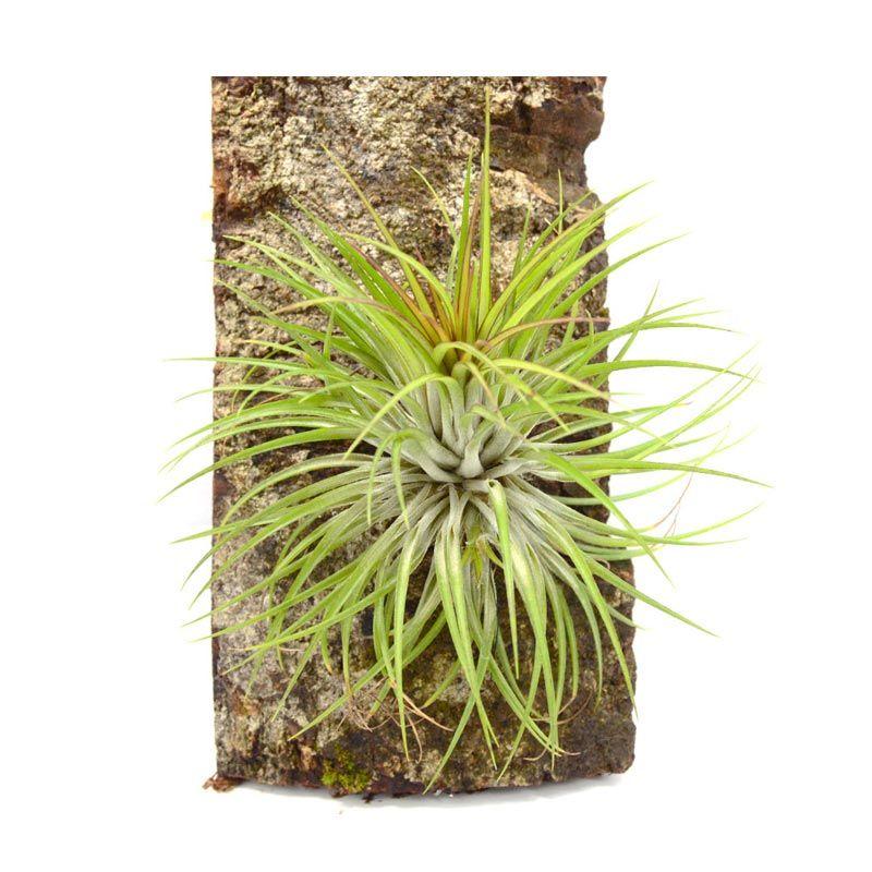 Kebun Bibit Tillandsia Crown Tanaman