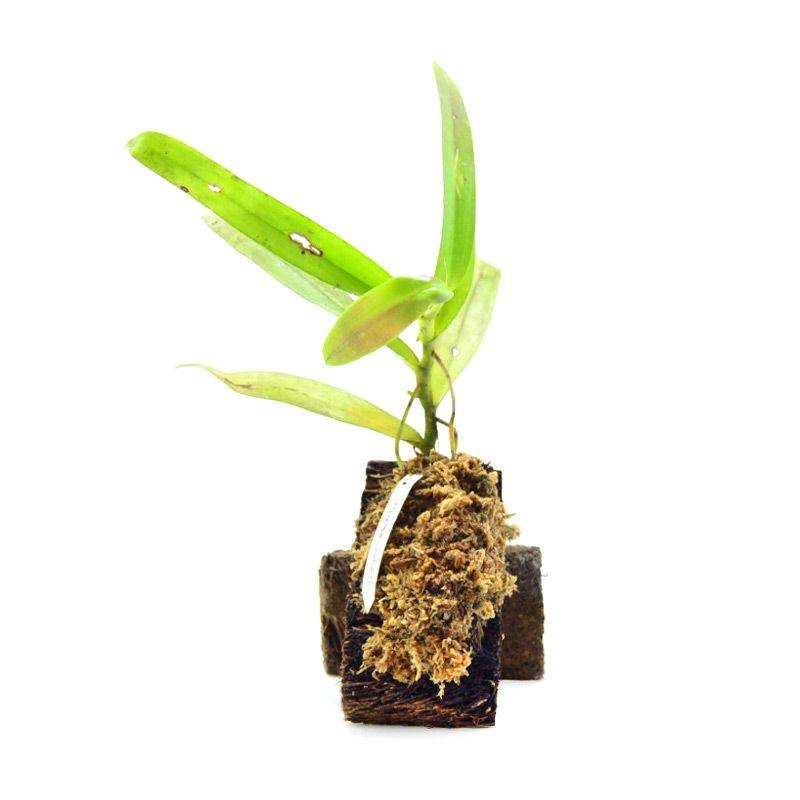 Kebun Bibit Thrixspermum Raciborskii Kuning Tanaman