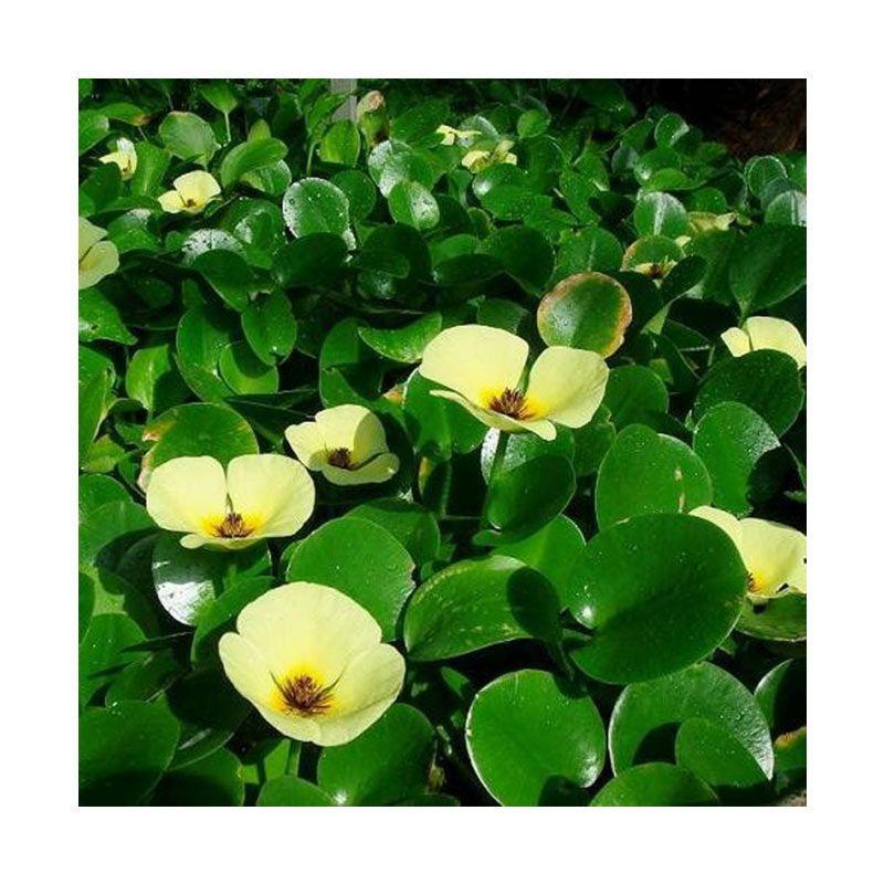 Kebun Bibit Yellow Water Poppy Hijau Tanaman