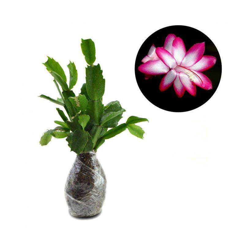 Kebun Bibit Schlumbergera Pink Tanaman