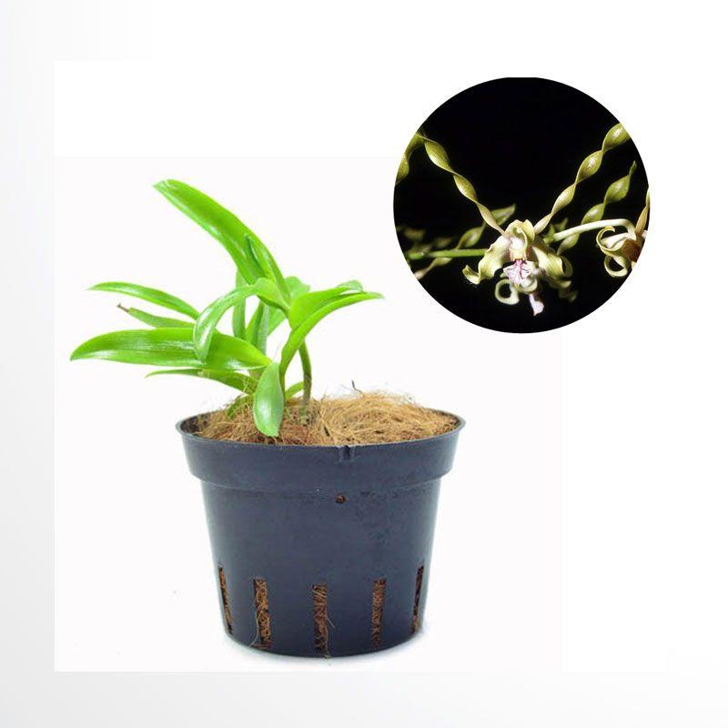 Kebun Bibit Seedling Dendrobium Strebloceros Tanaman