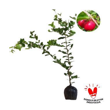 KebunBibitBuah.com Manis Mudah Berbuah Bibit Cherry Vietnam