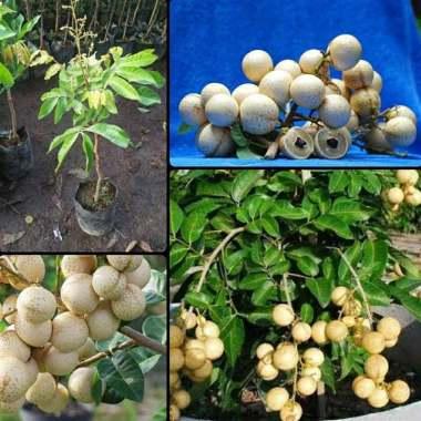 harga Azzahra berkah bibitku Kelengkeng Aroma Durian Bibit Tanaman Buah [Sudah Berbunga] Blibli.com