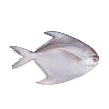 Jual Samudera 33 S33 Ikan Kuwe Lilin Fresh 1 Kg Online Januari 2021 Blibli