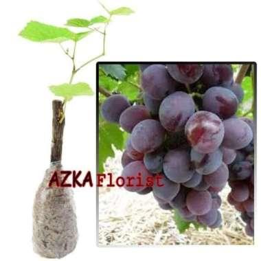 harga Unggul gprs bibit tanaman buah anggur import ninel Blibli.com