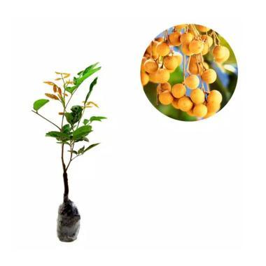 harga Aneka Bibit Unggul Kelengkeng Aroma Durian Blibli.com