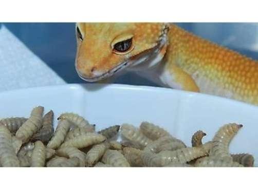 harga Larva Maggot BSF kering pakan istimewa gecko tokek lizard kadal reptil Blibli.com