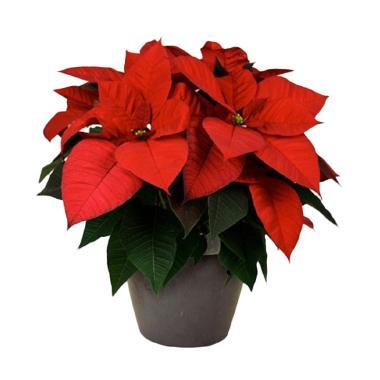 Gugus Gardenia Kastuba Tanaman Hias - Merah