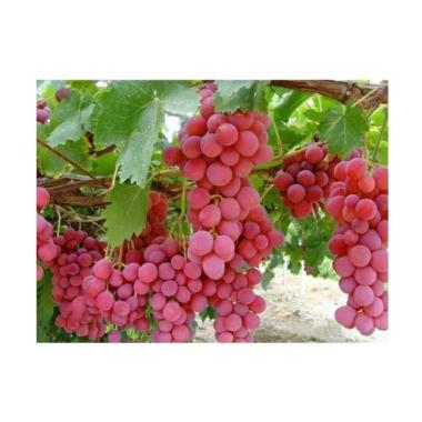 Victory Seed Biji Benih Anggur Merah Import Tanaman Buah [10 butir]