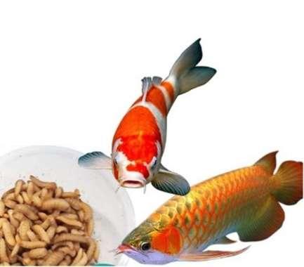 harga Larva Maggot BSF kering pakan istimewa ikan hias arwana louhan koi Blibli.com
