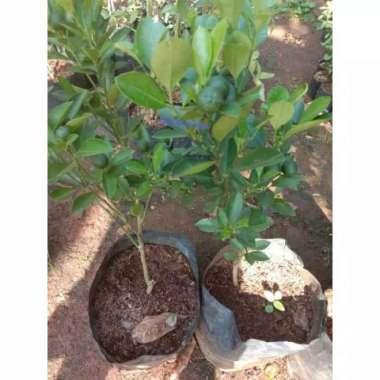 harga Bibit Tanaman Jeruk Songkit | Pohon Buah Jeruk Kunci | Jeruk Songkit Blibli.com