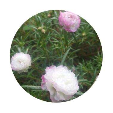 Puriegarden Stek Mossrose Portulaca ... tal Smooth Tanaman - Pink