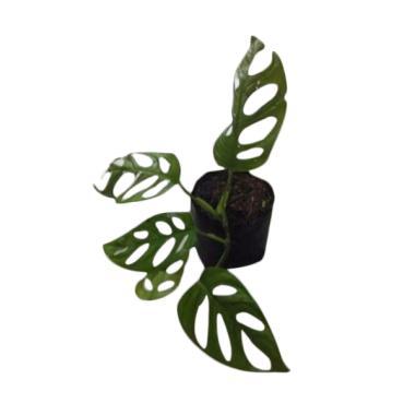 Bibit Tanaman Murah Philodendron Kacamata [Luar Pulau Jawa]