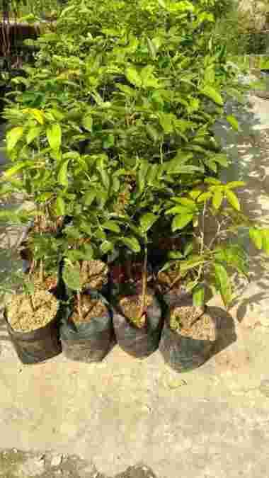 harga Bibit Kelengkeng Tempel Blibli.com