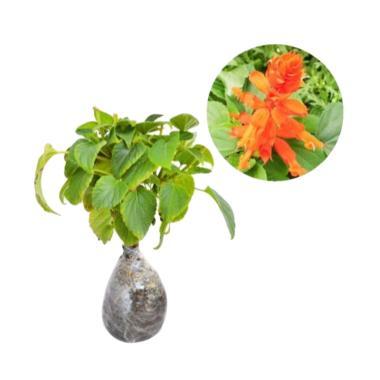 Bibit Tanaman Murah Salvia Sun Orange [Luar Pulau Jawa]