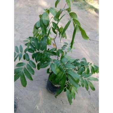 harga Bibit tanaman kelengkeng diamond Blibli.com