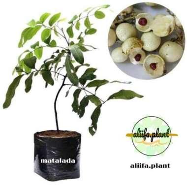 harga Bibit Buah Kelengkeng Matalada hasil okulasi bisa berbuah dalam pot Blibli.com