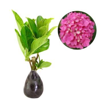 Bibit Tanaman Murah Hydrangea Pink [Luar Pulau Jawa]