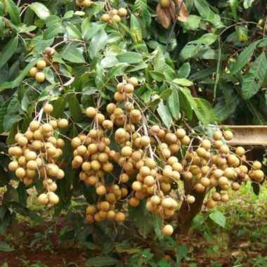 harga Bibit kelengkeng puangray - bibit buah - tanaman Blibli.com