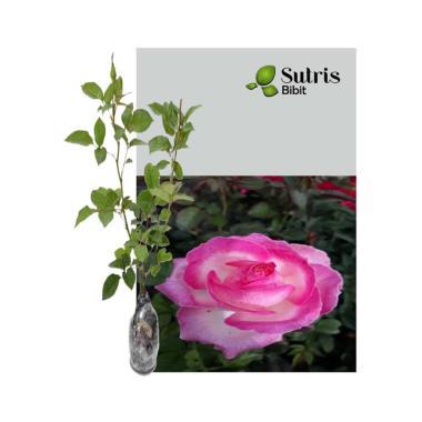 Bibit Bunga Mawar Jual Produk Diskon Termurah Februari 2020